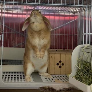 ネザーランド ロップイヤーのウサギ