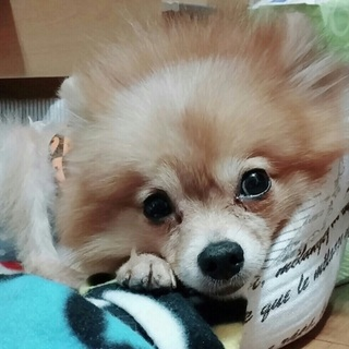 甘えん坊の怖がりポメラニアン♀慈愛ちゃん