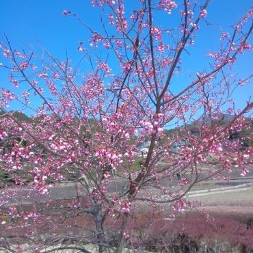 青い空と早咲きの桜!❀ きれい!!(∀`*ゞ)