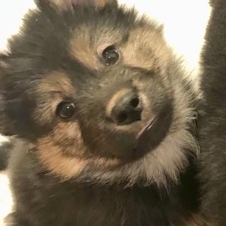 子犬   生後約2ヶ月ぐらいのふわふわちゃん