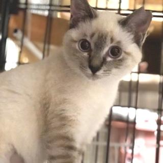 青い瞳が可愛い猫さん2/23譲渡会パネル参加
