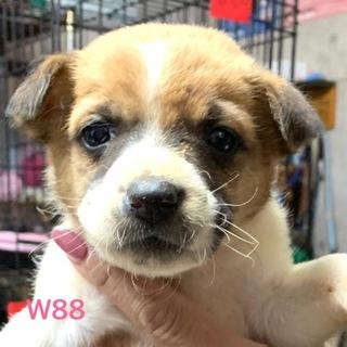 W88 可愛い子犬です。