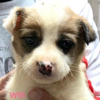 W91 可愛い子犬です。