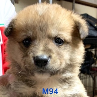 M94 可愛い子犬です。