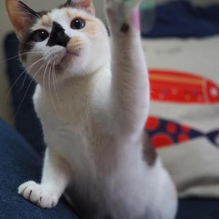 パステル三毛の成猫の女の子♪