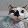 パステル三毛の成猫の女の子♪ サムネイル4