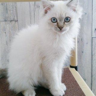 4ヶ月くらいの女の子(MIX長毛)
