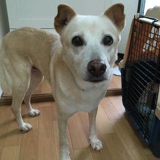 【宮古島出身】つぶらな瞳の温厚な老犬