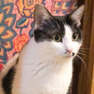 毛玉大好き!ギザギザしっぽの白黒猫エバちゃん