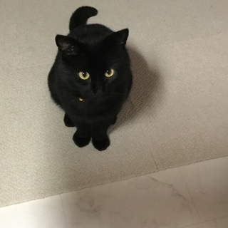 ちょい太目の黒猫ブラックパンサー