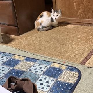メス猫の三毛猫ちゃん♪