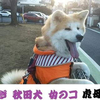 平和主義!おっとり優しい秋田犬「つむぎ」ちゃん