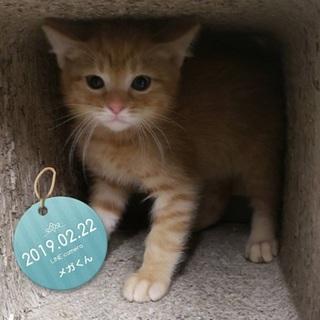 生後1.5か月激かわ茶トラ子猫♪ メガ君です