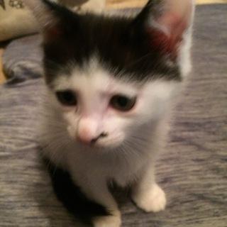 里親さん募集 可愛いメス猫ちゃんです。
