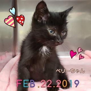 生後1.5か月♪白毛がチャームポイント黒猫ベリー