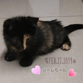 生後1.5か月♪フワフワなサビ柄子猫ジャムちゃん