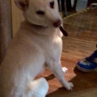 紀州犬風 元気な女の子