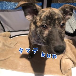 タマデ kun ★ 4ヶ月 ブリンドル