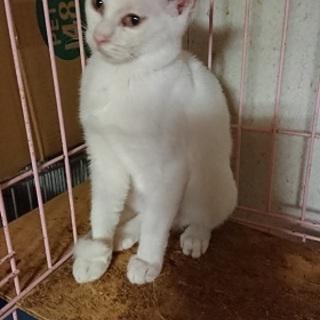7ヶ月の美しい白猫!