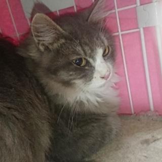 とても美しい毛並みの大きな目の西洋猫!