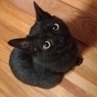 決定☆綺麗な黒猫の遊ぶの大好き子