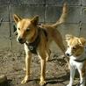 スタイル抜群、ずばぬけた運動能力の屋久島犬 サムネイル7