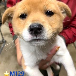 M129 可愛い子犬です。