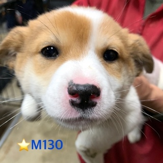M130 可愛い子犬です。