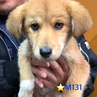 M131 ゴールデン? 可愛い子犬です。