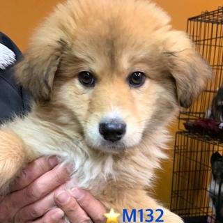 M132 ゴールデン? 可愛い子犬です。