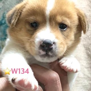 W134 可愛い子犬です。