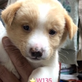 W135 可愛い子犬です。