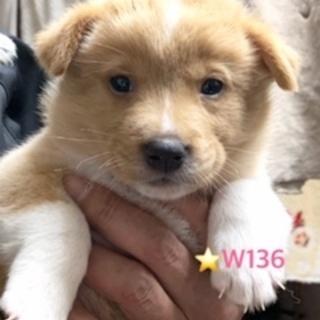 W136 可愛い子犬です。