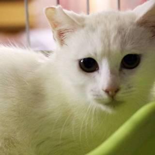 白猫 苗ちゃん(エイズキャリア)