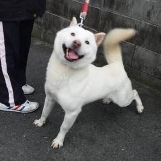 北海道犬 はっくん