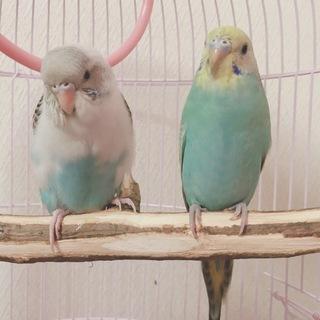セキセイインコ2羽の里親募集