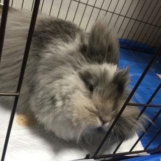 大阪市 アンゴラウサギの里親様募集