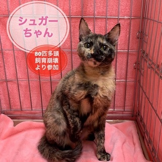 生後6か月: おめめの大きな美しいサビ猫ちゃん