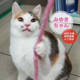 子猫のようによく遊ぶ白三毛のみゆきちゃん♪