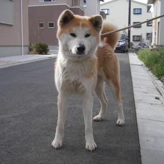 秋田犬おとなしい2才の女の子です