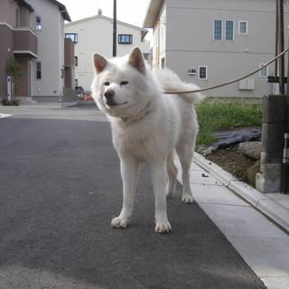 白い秋田犬3才の男の子です