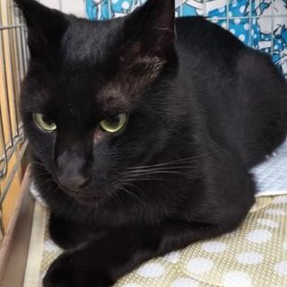 マイペースで面白い黒猫☆リブ君 推定3歳