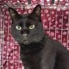 ウキャウキャ鳴いて甘える黒猫リブ君 推定3歳 サムネイル4