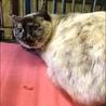 期限付き収容!サビ顔のシャム系猫ちゃん サムネイル2