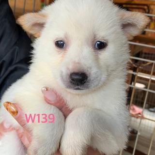 W139 可愛い子犬です。