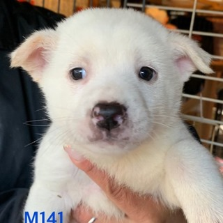 M141 可愛い子犬です。