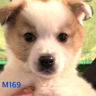M169 可愛い子犬です。