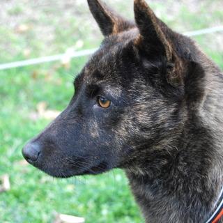 琉球犬MIX黒虎♂ 1~3歳