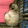 期限付き収容!サビ顔のシャム系猫ちゃん サムネイル6