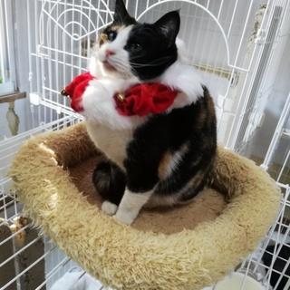お膝に乗りたい甘えん坊の三毛猫さん